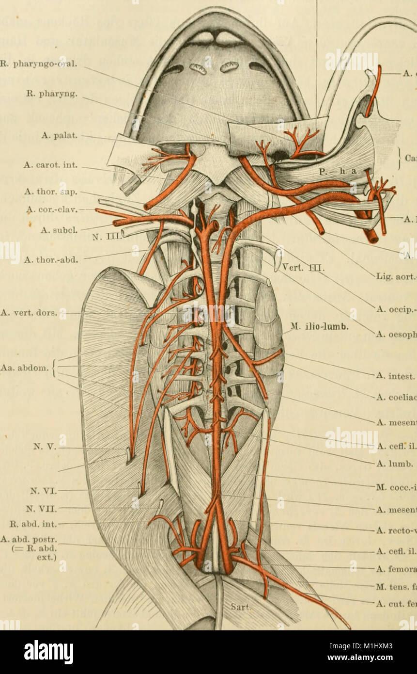 Groß Abdominalgefäße Anatomie Galerie - Anatomie Von Menschlichen ...