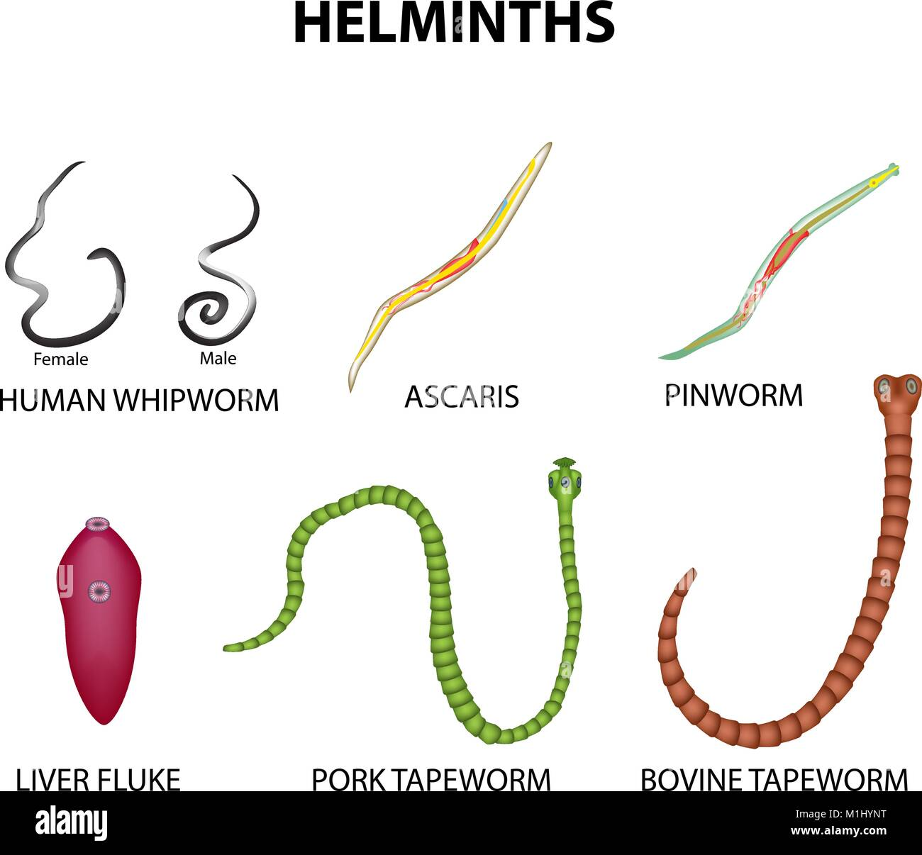 A Set Of Helminths Roundworm Ascaris Pinworms Bovine Tapeworm