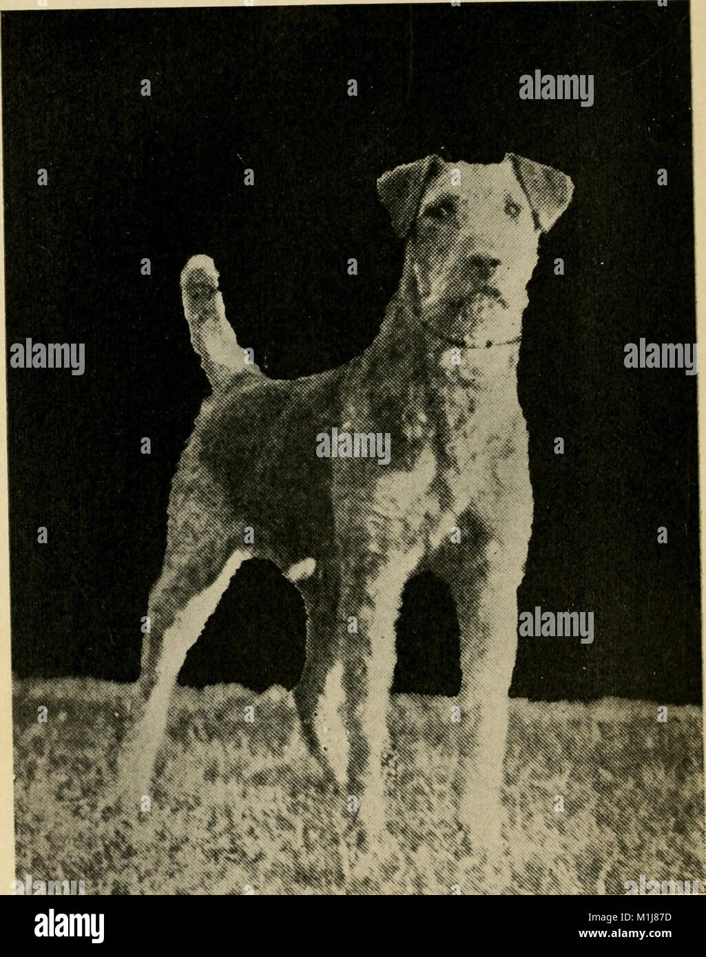 All about Airedales