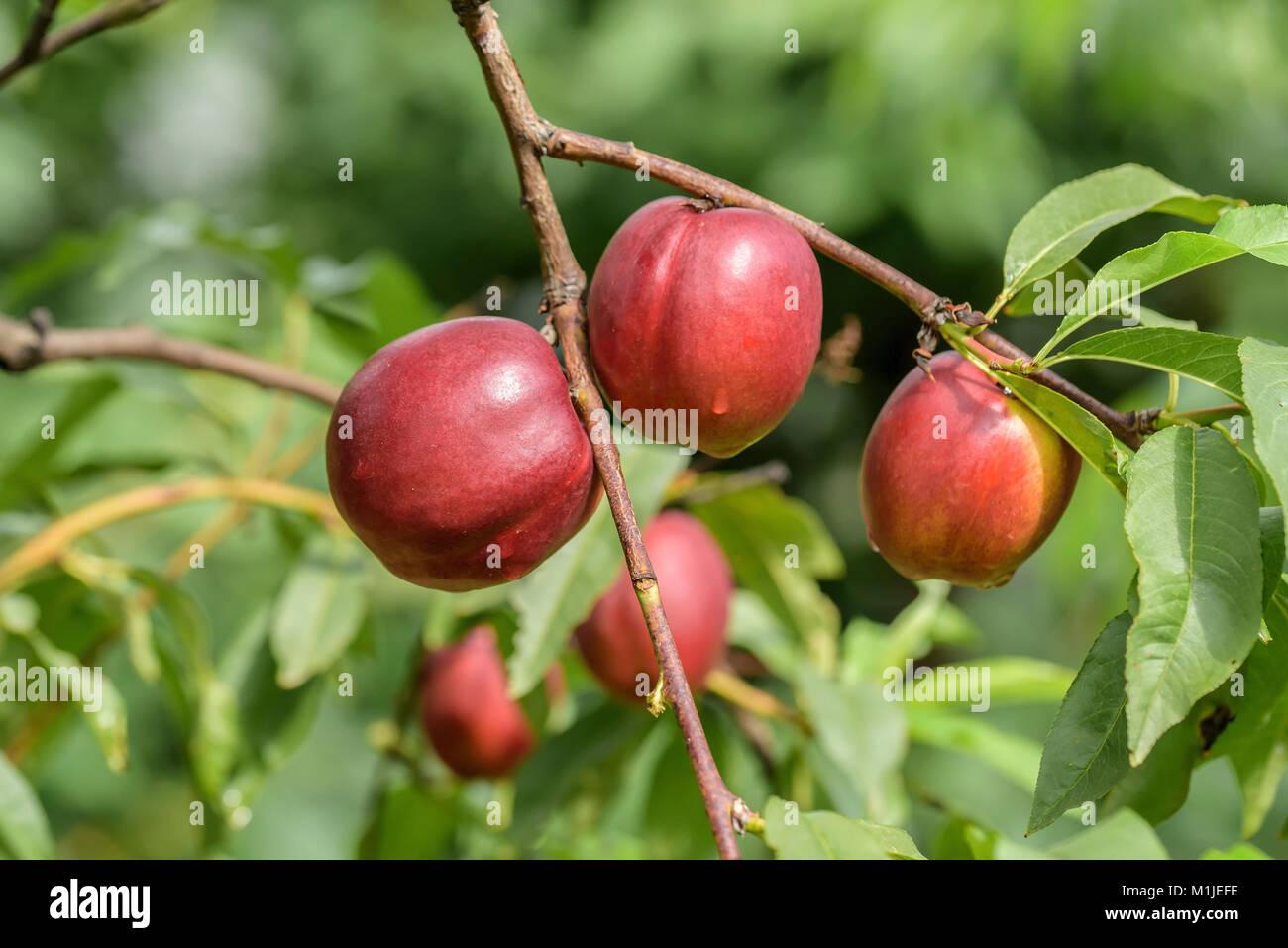Nectarine (PRUNUS PERSICA harb laze), Nektarine (Prunus persica Harblaze) - Stock Image