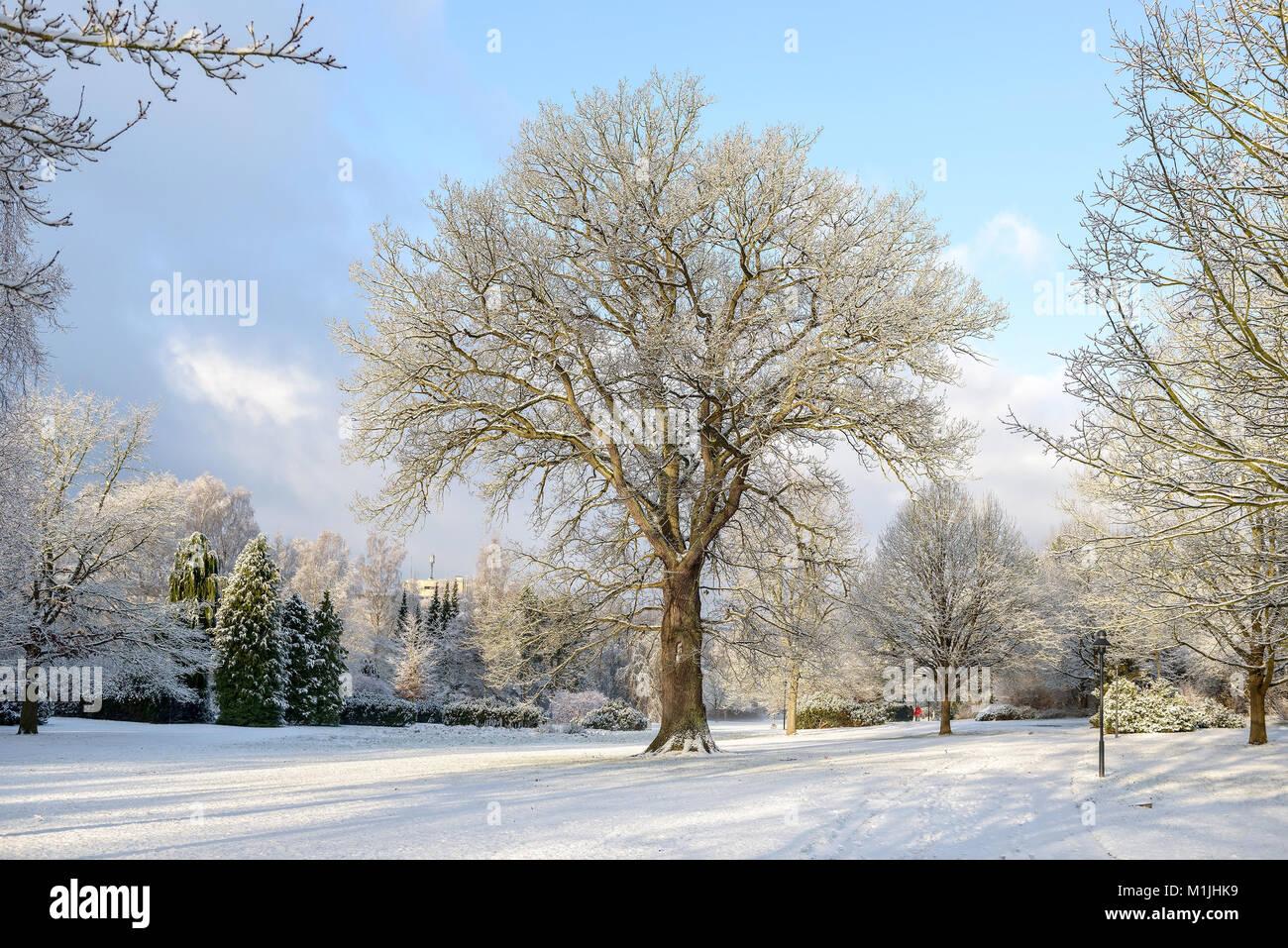 Pedunculate oak (Quercus robur), Stiel-Eiche (Quercus robur) - Stock Image