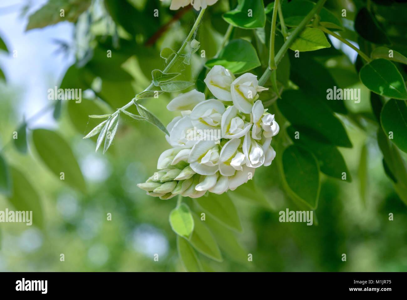 Chinese Blue Rain (Wisteria sinensis Nivea), Chinesischer Blauregen (Wisteria sinensis Nivea) - Stock Image