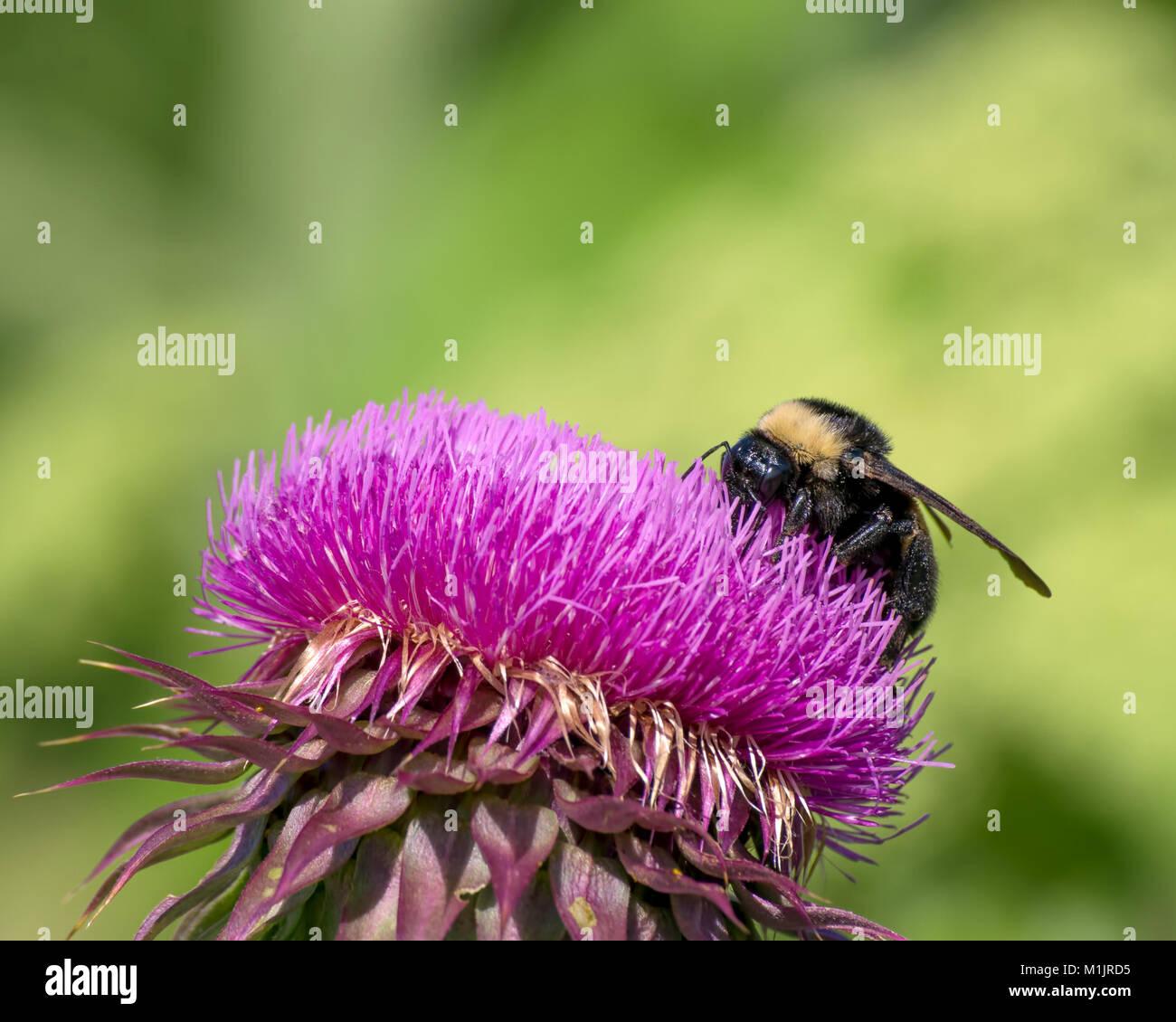 American Bumblebee on thistle - Stock Image