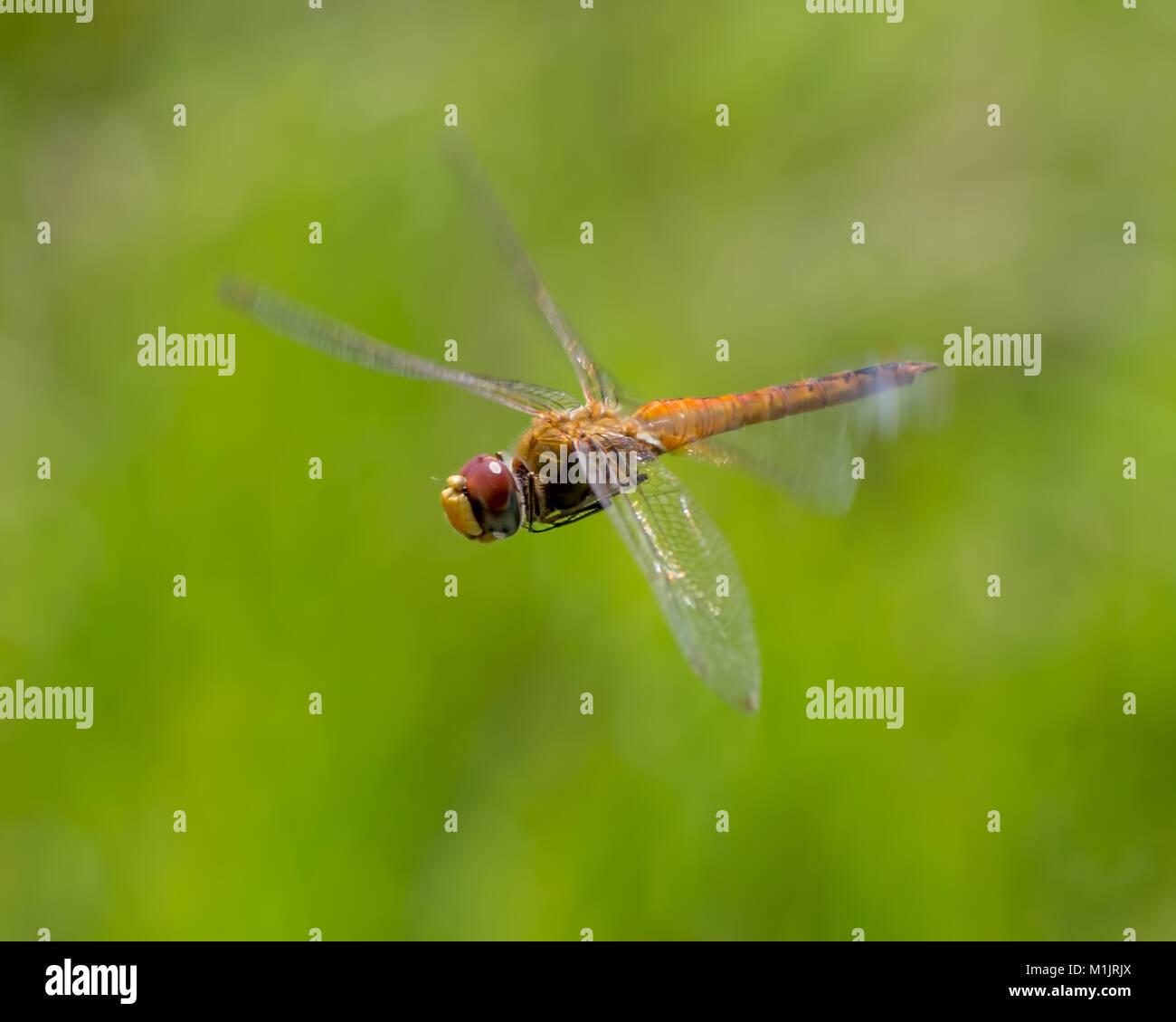 Wandering glider dragonfly in flight - Stock Image
