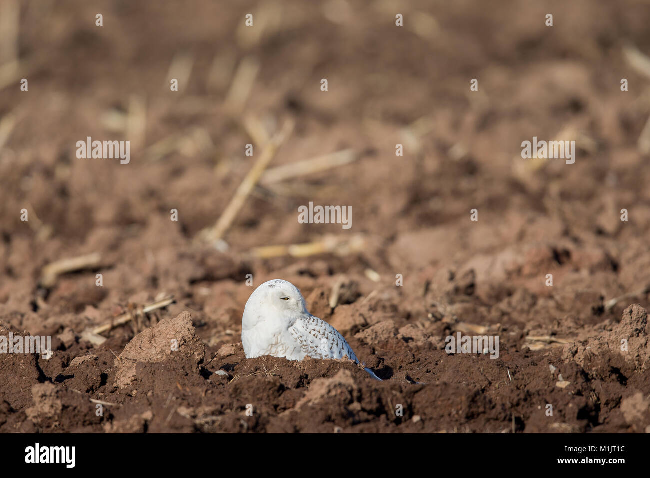 Snowy owl (bubo scandiacus) sitting in a farm field and looking to the right.  Selective focus on the owl.  Plenty - Stock Image