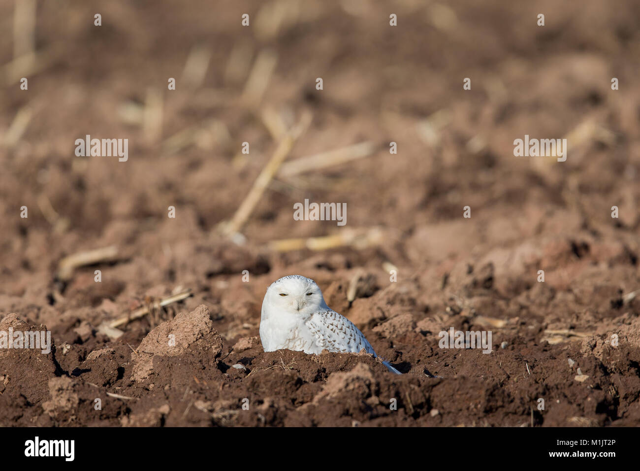 Snowy owl (bubo scandiacus) sitting in a farm field and looking into camera.  Selective focus on the owl.  Plenty - Stock Image