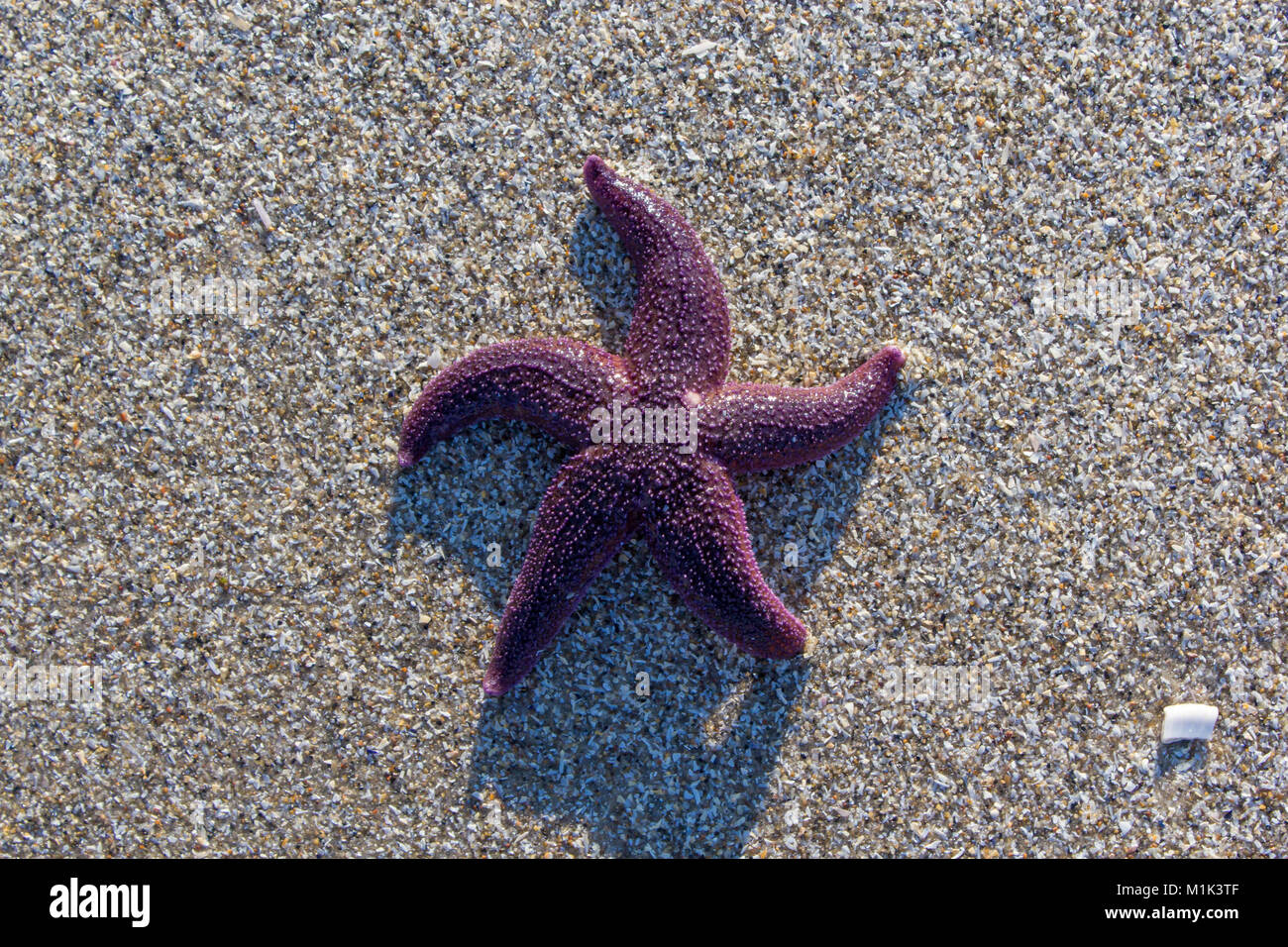 Common starfish on sand beach; Saeby, Denmark - Stock Image