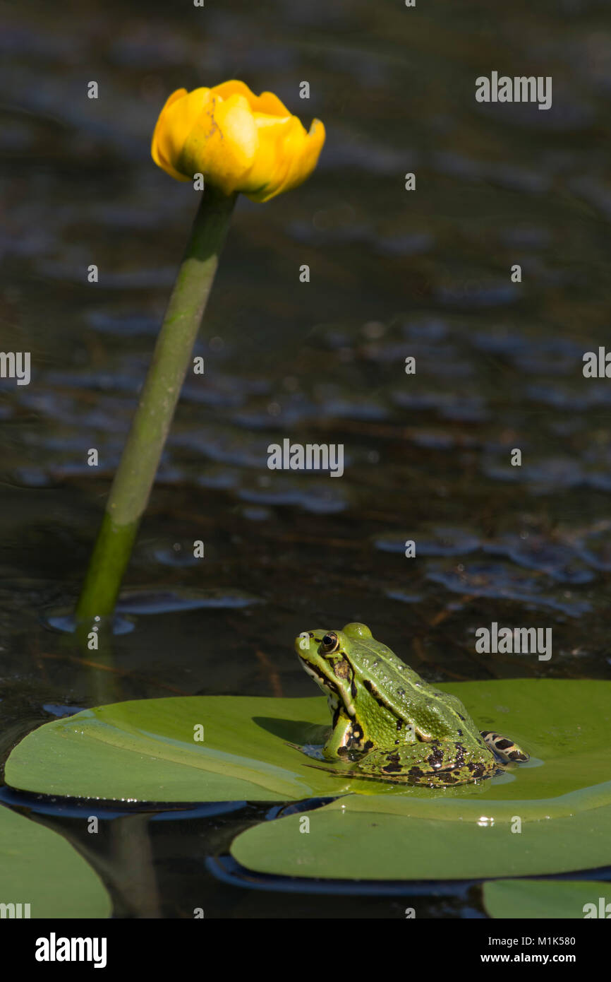 Green frog (Rana esculenta) sits on the leaf of a pond-lily, Burgenland, Austria - Stock Image