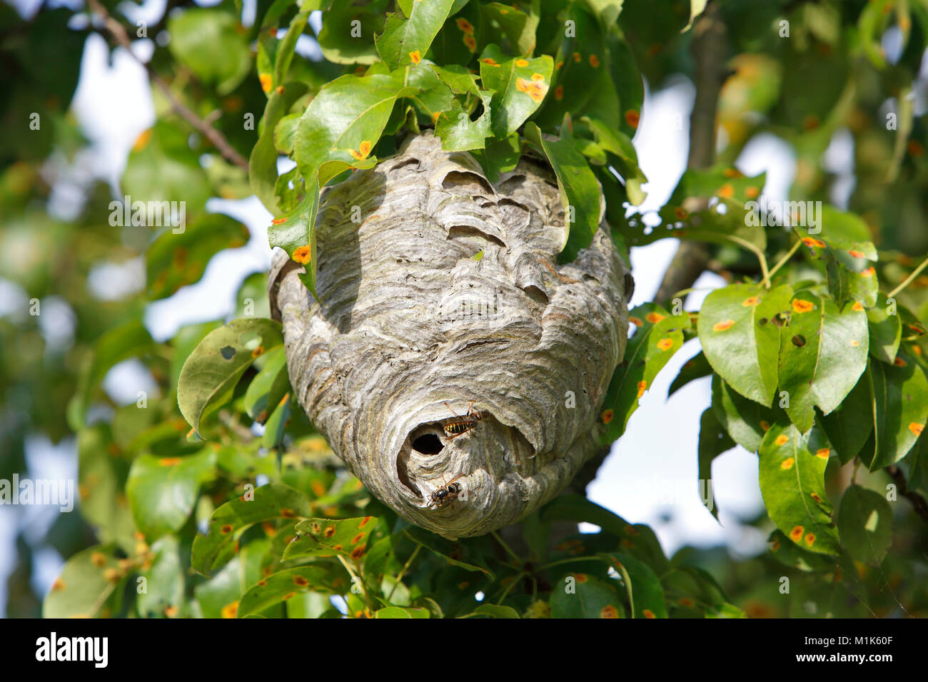 Vespiary of the Median Wasp (Dolichovespula media), Middle Elbe Biosphere Reserve, Saxony-Anhalt, Germany - Stock Image
