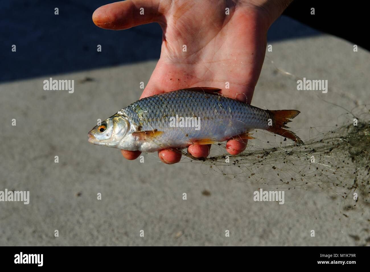 Baku, Azerbaijan 2010. A Common Roach (Rutilus rutilus) fish caught from the waterfront in Baku from surprisingly - Stock Image