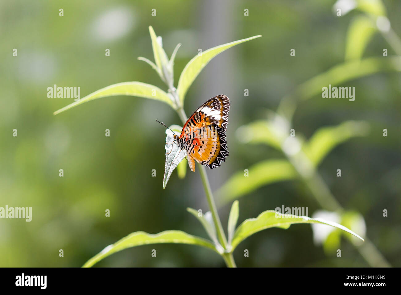 leopard or lacewing butterfly or Malay lacewing butterfly - Stock Image