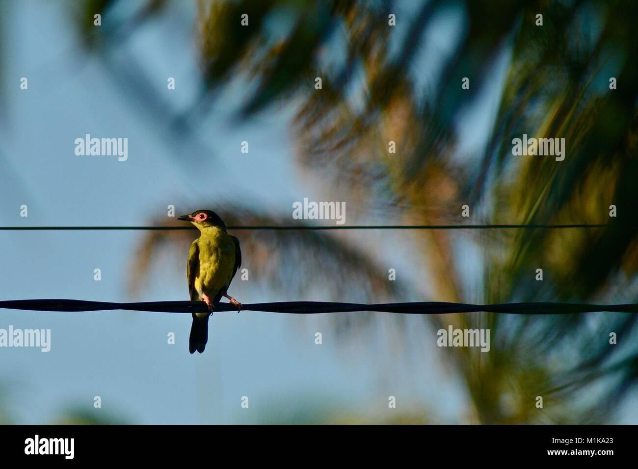 Male Australasian figbird (Sphecotheres vieilloti), Townsville, Queensland, Australia Stock Photo