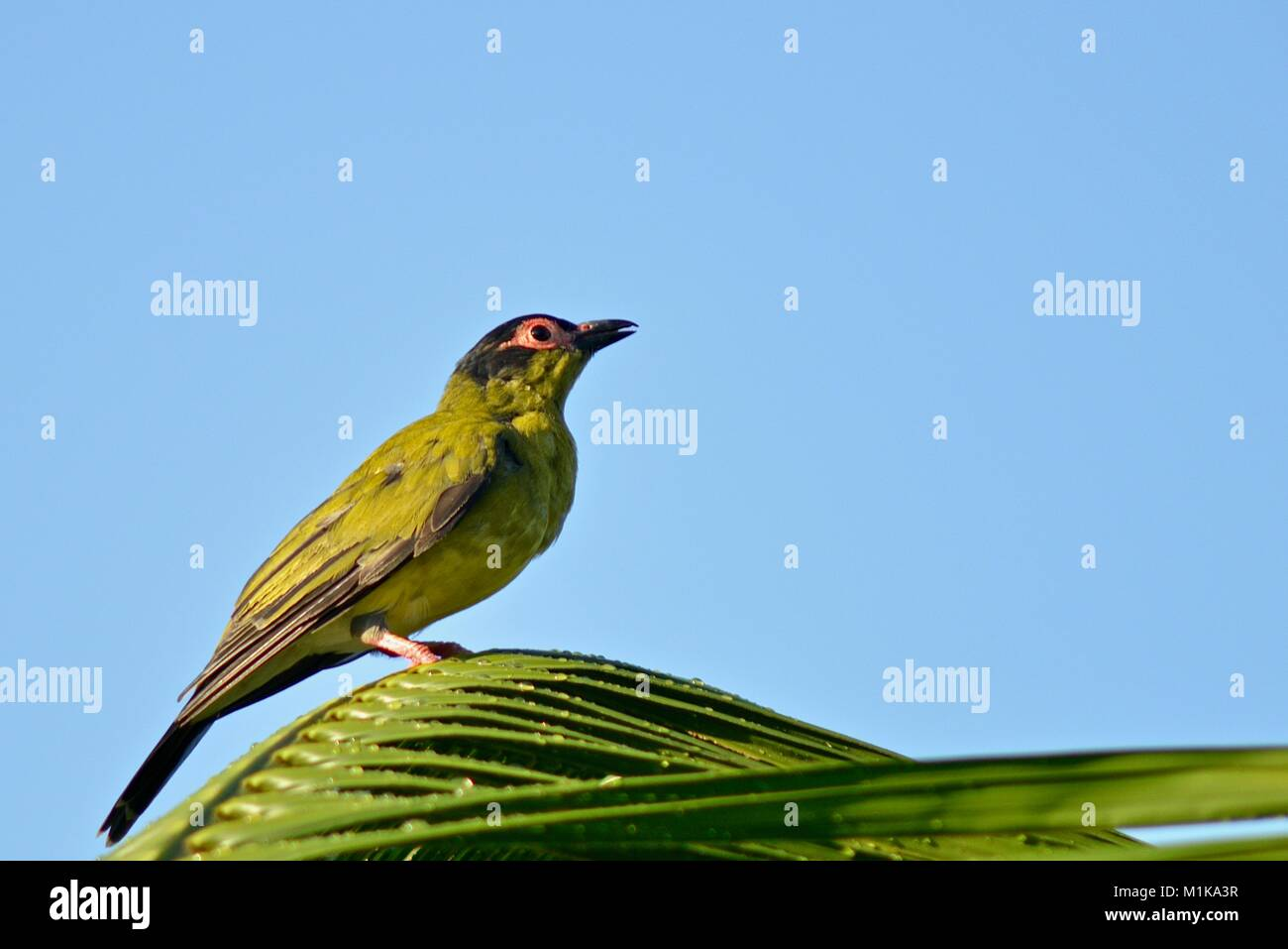 Male Australasian figbird (Sphecotheres vieilloti), Townsville, Queensland, Australia Stock Photo
