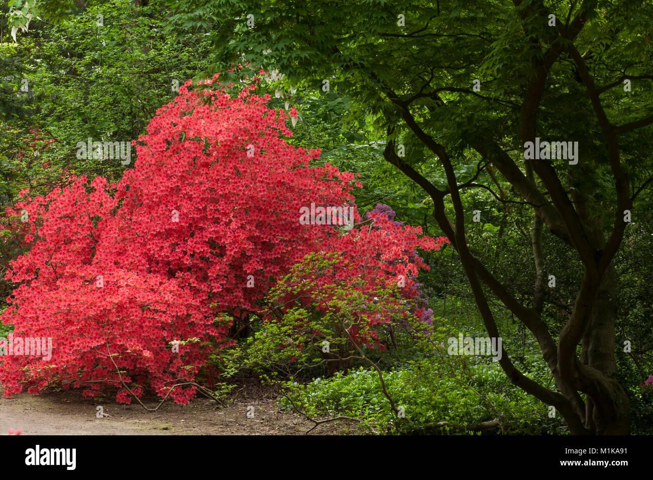 Germany Cologne Blooming Azalea At The Forstbotanischer Garten
