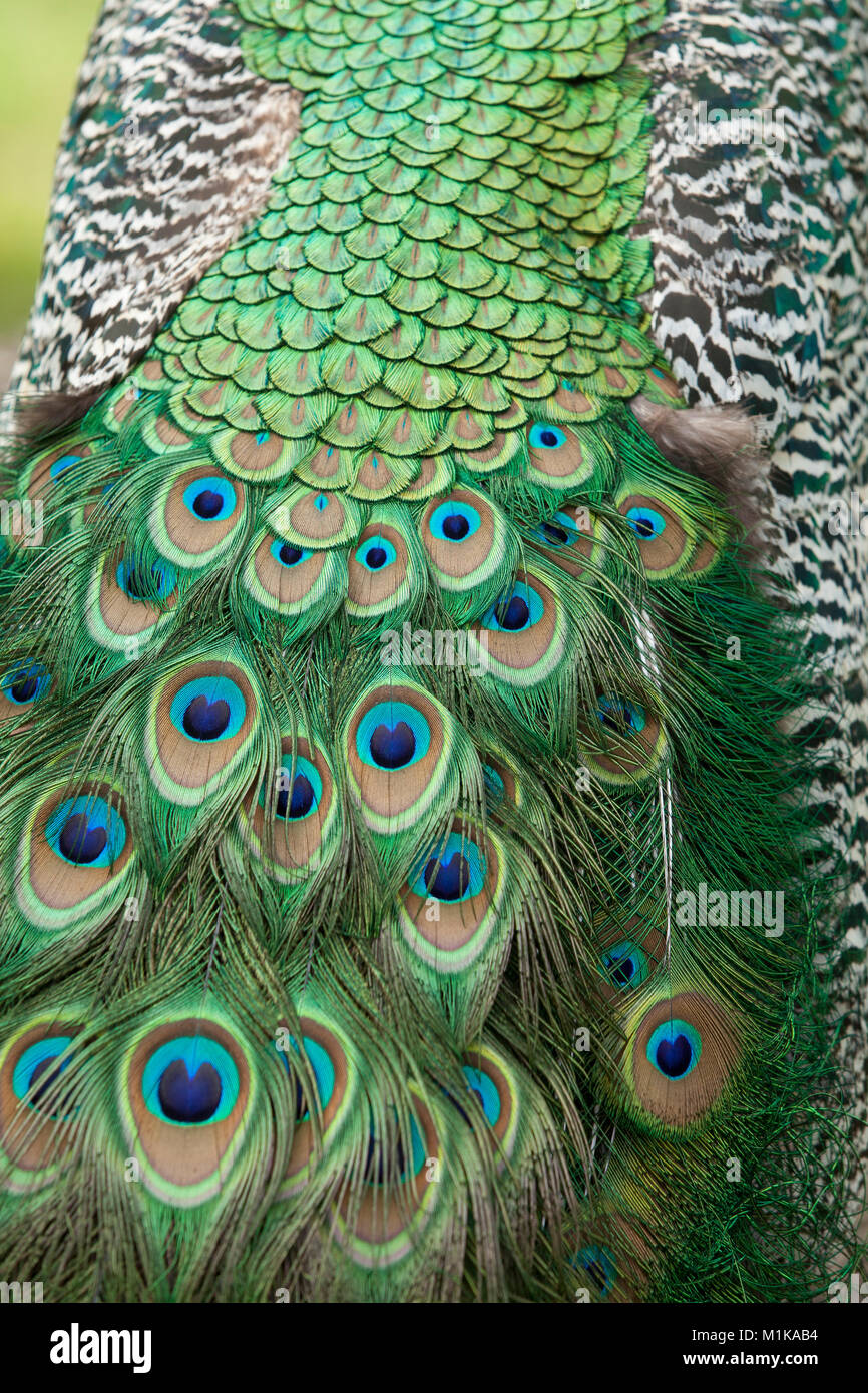 Germany,feathers of a mal peacock, common peafowl (lat. Pavo cristatus) displaying tail, at the Forstbotanischer - Stock Image