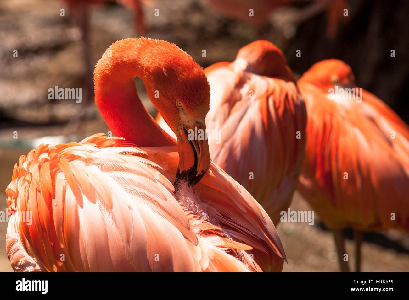 Germany, Cologne, the zoological garden, flamingo.  Deutschland, Koeln, im Zoo, Flamingos. - Stock Image