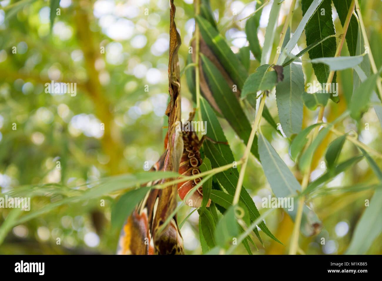 Adult Atlas Moth, Attacus atlas, wings open - Stock Image