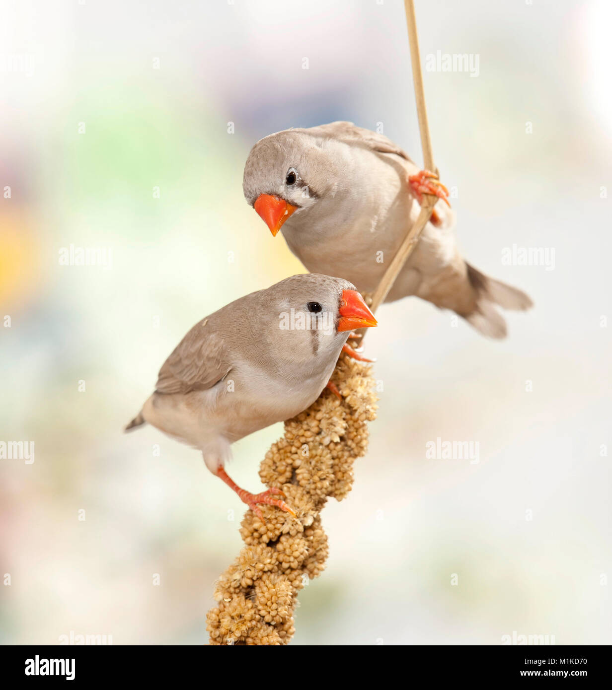 Zebra Finch (Taeniopygia guttata). Two birds perched on foxtail millet - Stock Image