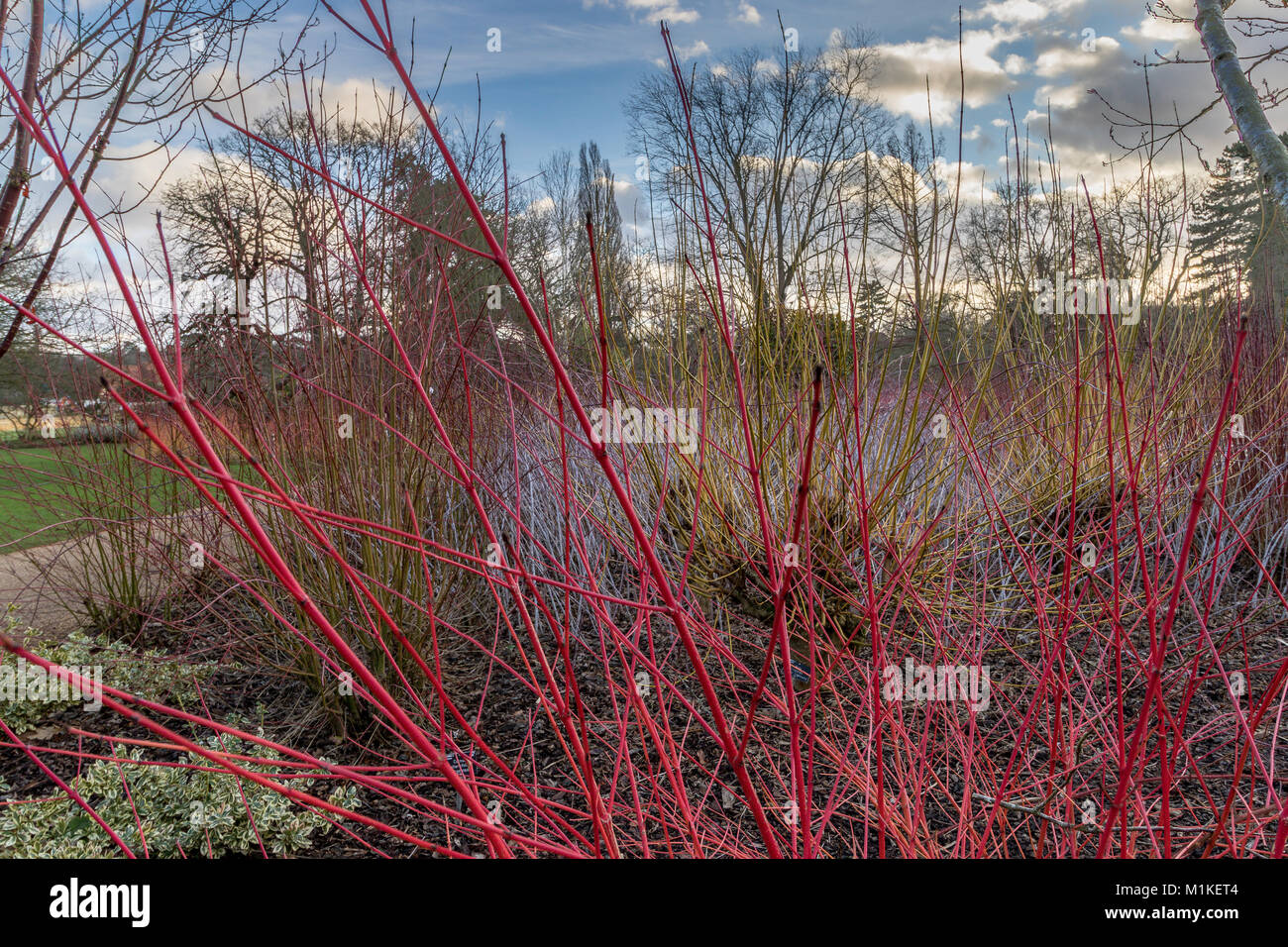 winter colour of Cornus Alba Baton Rouge with their bright red stems planted against a backdrop of Rubus cockburnianus - Stock Image
