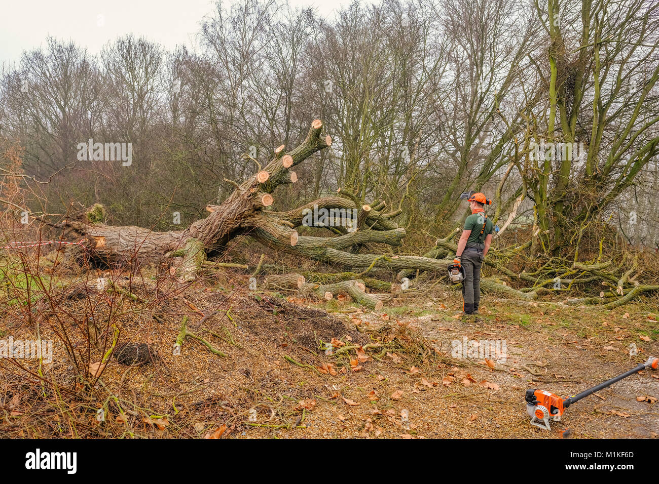 Hainault Forest, Essex, England, UK  - January 9, 2018:  cutting up and disposing of a large fallen tree.   The Stock Photo