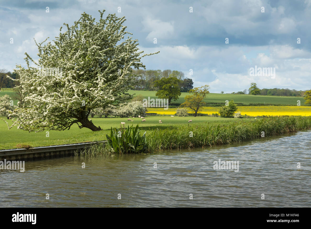 An image of a Hawthorne tree by the Grand Union Canal in Leicestershire, England, UK - Stock Image