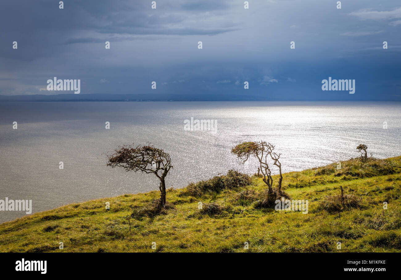 Stunted wind blown hawthorn trees on Brean Down near Weston super Mare in Somerset UK looking across the Bristol - Stock Image