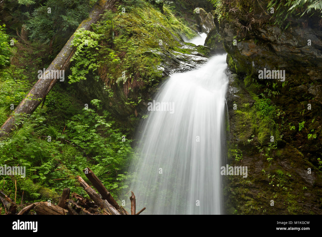 WA13141-00...WASHINGTON - One of many unnamed waterfalls descending from the snow-capped peaks to the Quinault River - Stock Image