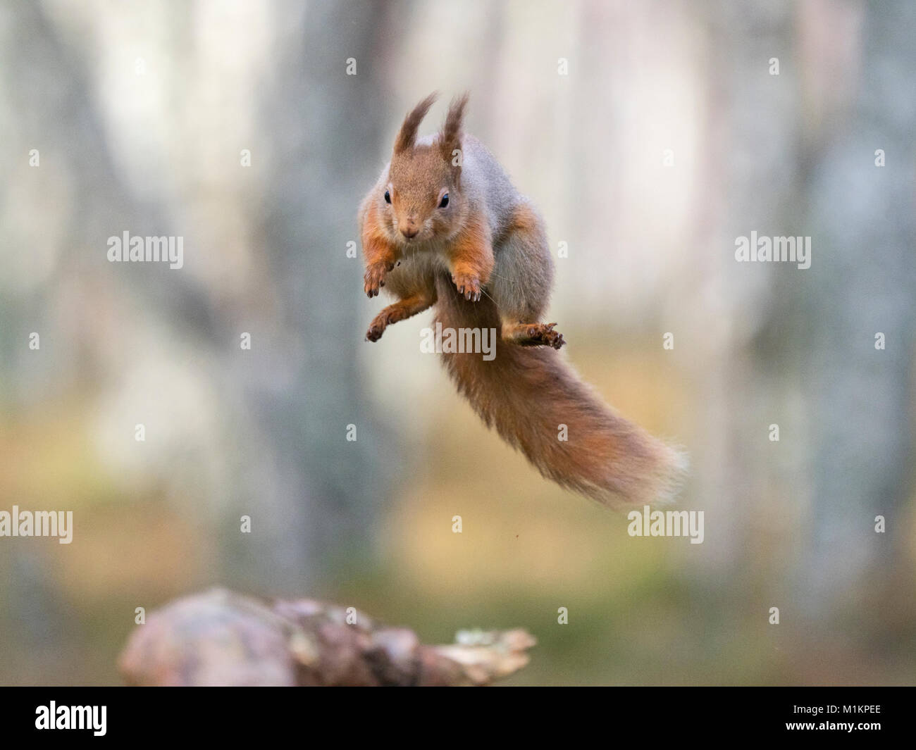 Cairngorms National Park. 30th Jan, 2018. UK Weather: A Red Squirrel Sciurus vulgaris caught in mid flight as it - Stock Image