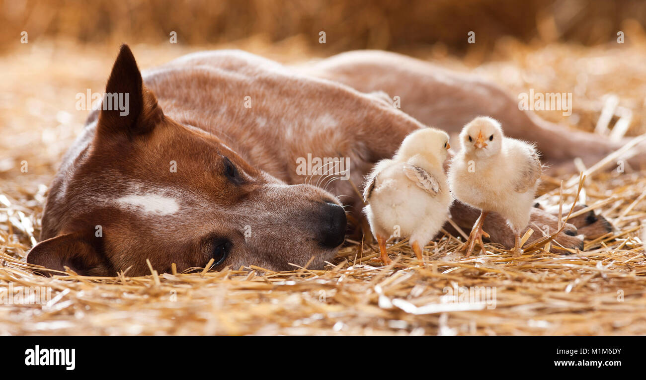 Animal friendship: Australian Cattle dog with chicks, lying in straw. Germany - Stock Image
