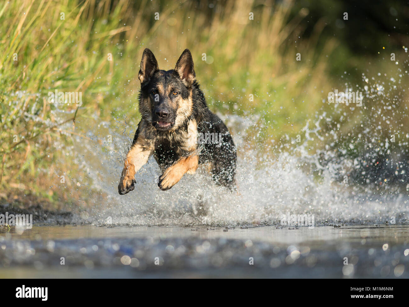 German Shepherd, Alsatian. Adult running in shallow water. Germany - Stock Image