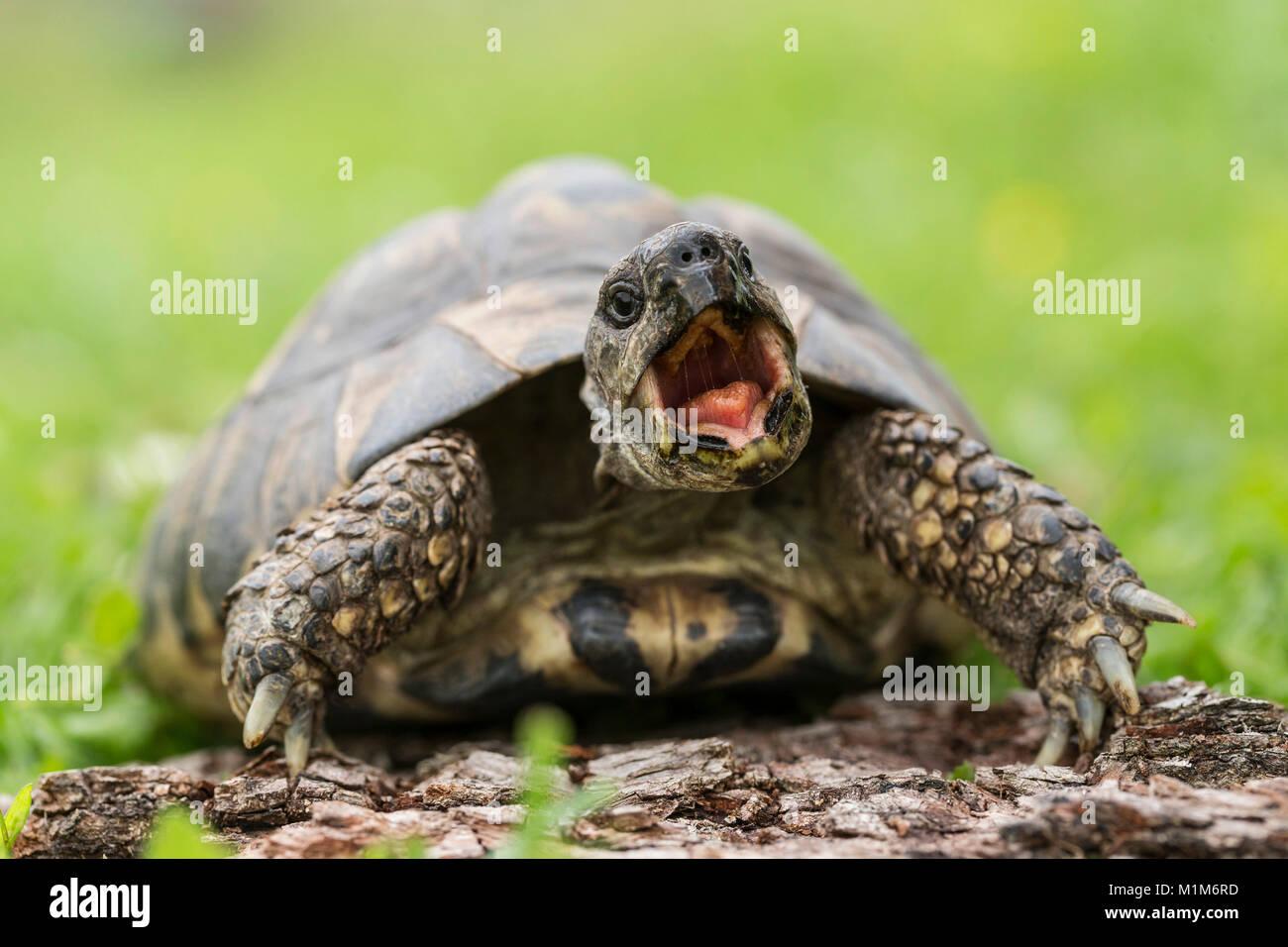 Hermanns Tortoise (Testudo hermanni) on a log, yawning. Germany - Stock Image