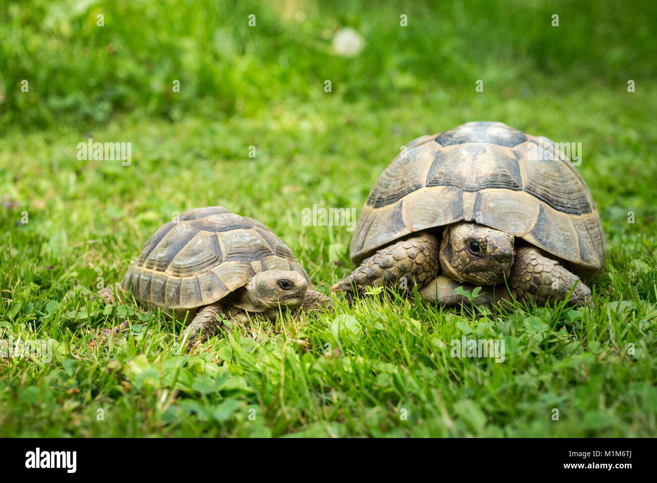Hermanns Tortoise (Testudo hermanni). Two individuals of differnt age in grass. Germany - Stock Image