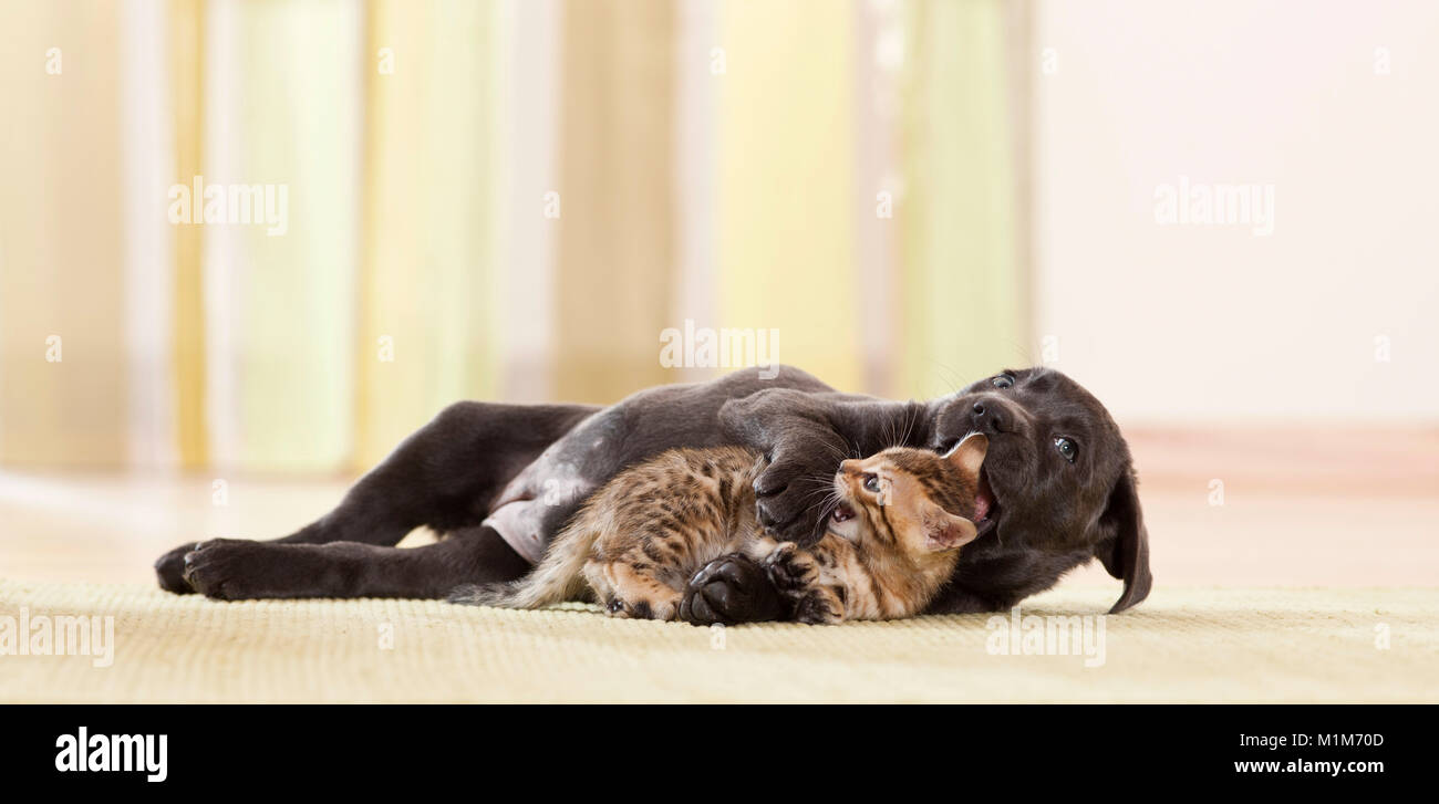 Labrador Retriever and Bengal Cat. Puppy and kitten playing. Germany - Stock Image