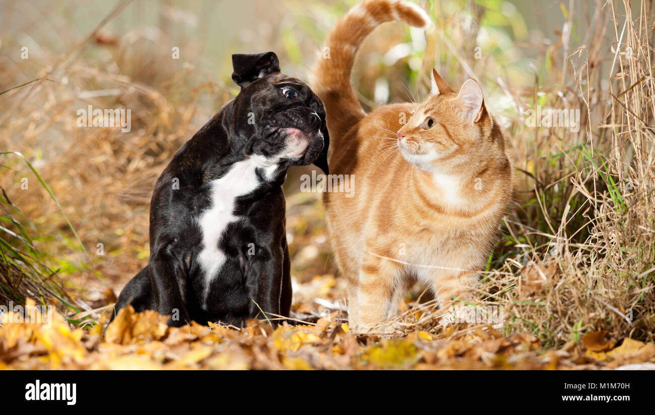 Continental Bulldog. Puppy sitting in leaf litter, next to domestic cat. Germany - Stock Image
