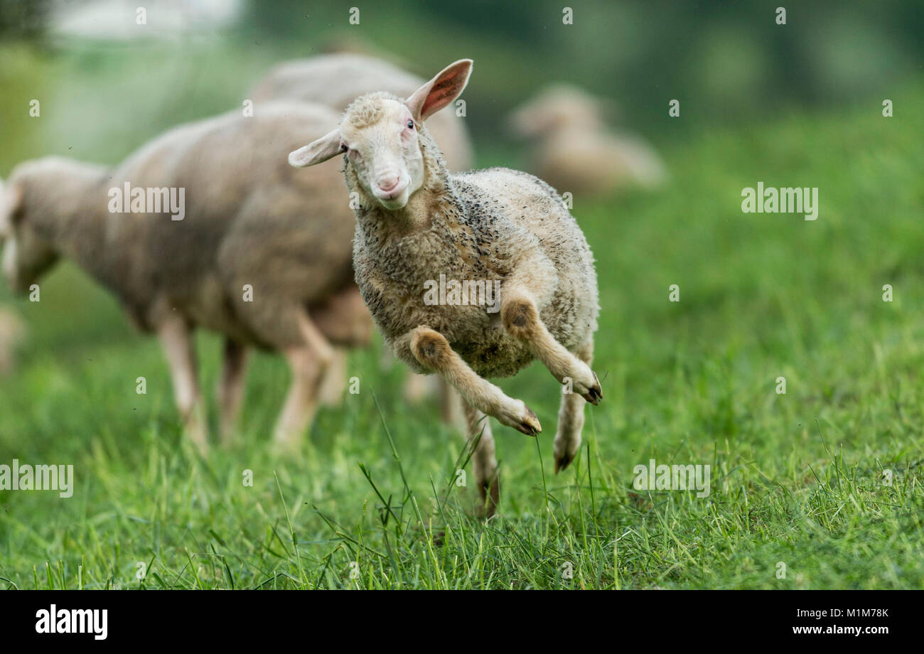 Merino Sheep. Juvenile jumping on a meadow. Germany - Stock Image