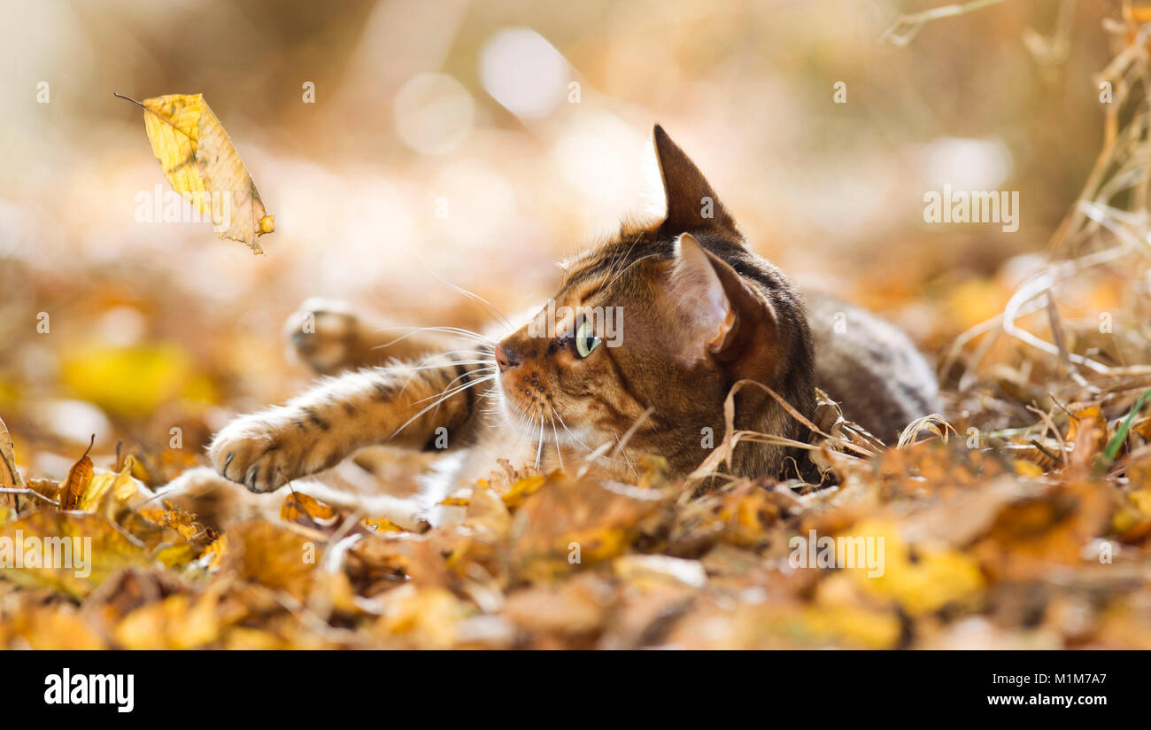 Bengal cat lying in leaf litter, watching falling leaf. Germany - Stock Image