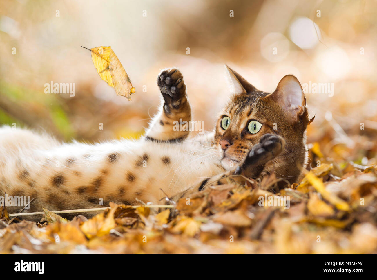 Bengal cat lying in leaf litter, playing with falling leaf. Germany - Stock Image