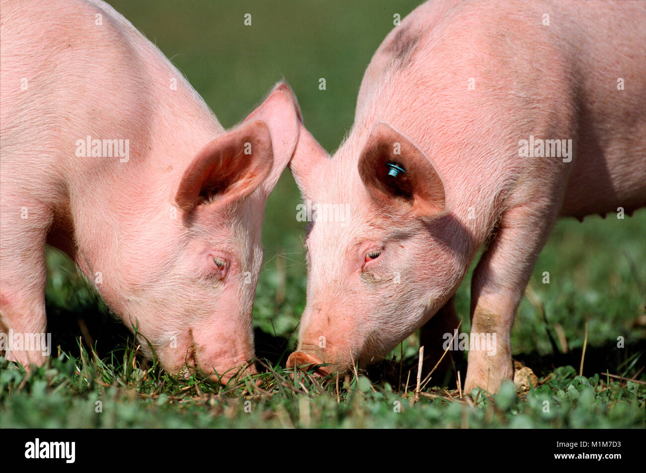 German Landrace Pig. Two pigs foraging on a meadow. Germany - Stock Image