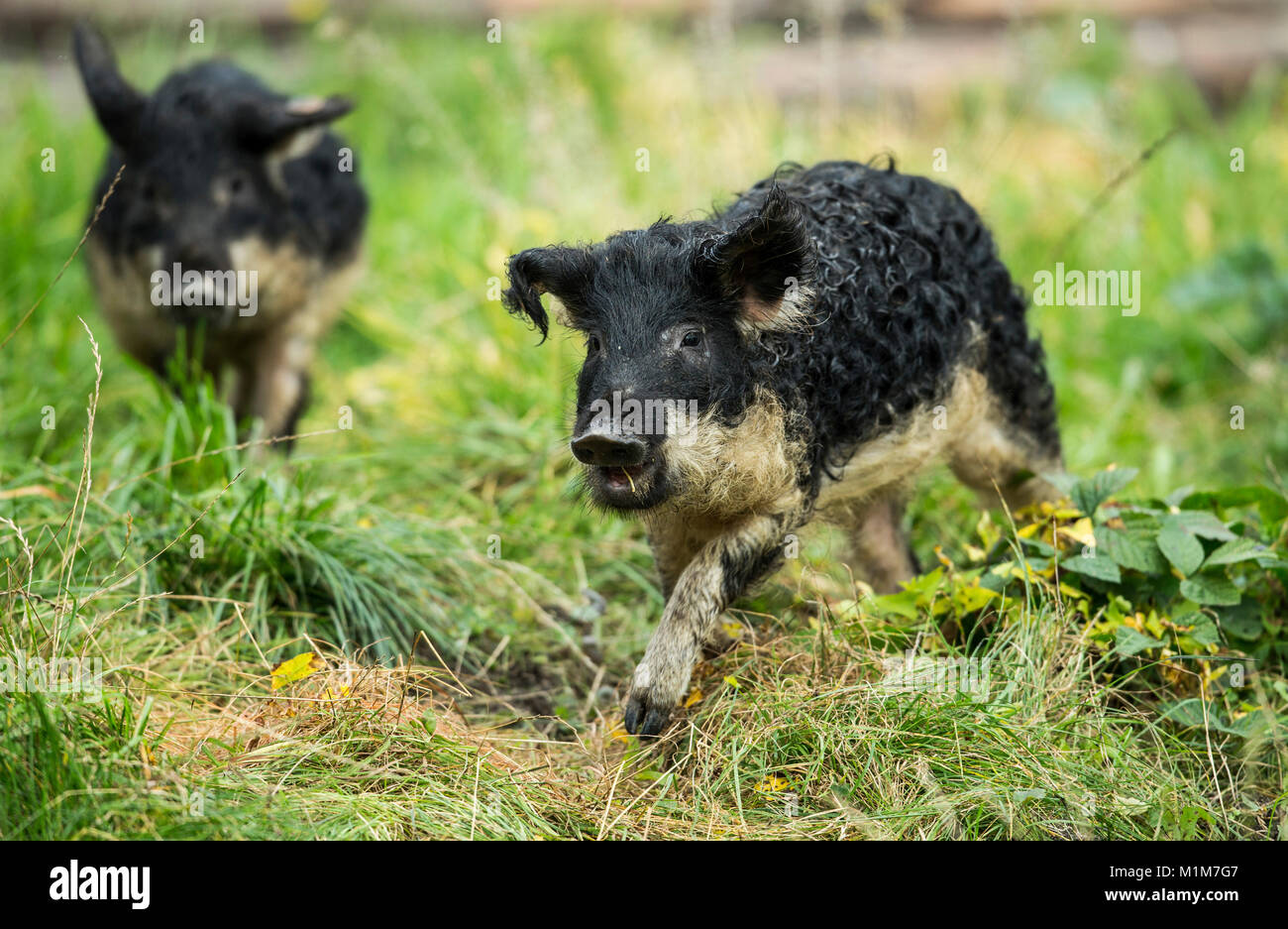 Mangalica. Two piglets running on a meadow. Germany - Stock Image