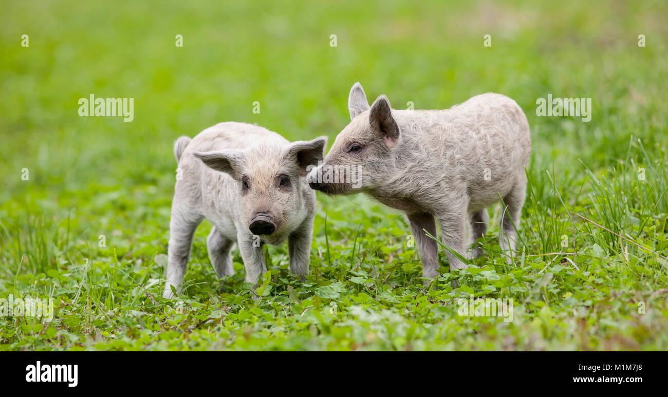 Mangalica. Two piglets on a meadow. Germany - Stock Image