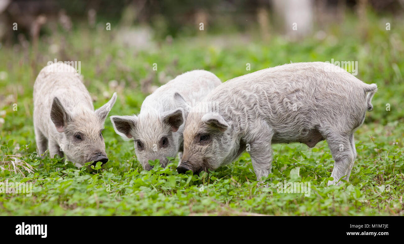 Mangalica. Three piglets on a meadow. Germany - Stock Image