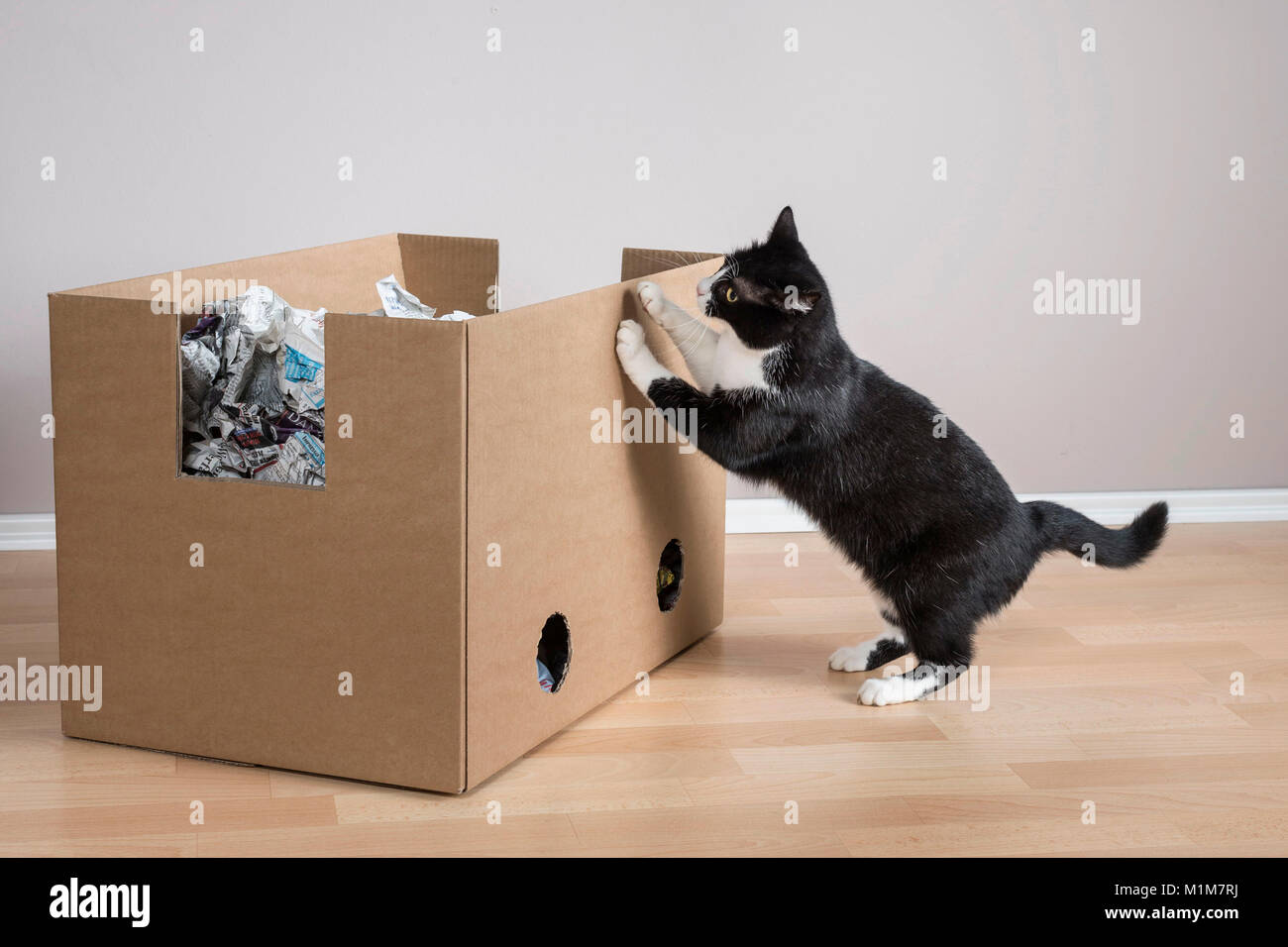 Domestic Cat. Tuxedo cat investigating a box filled with paper. Germany - Stock Image