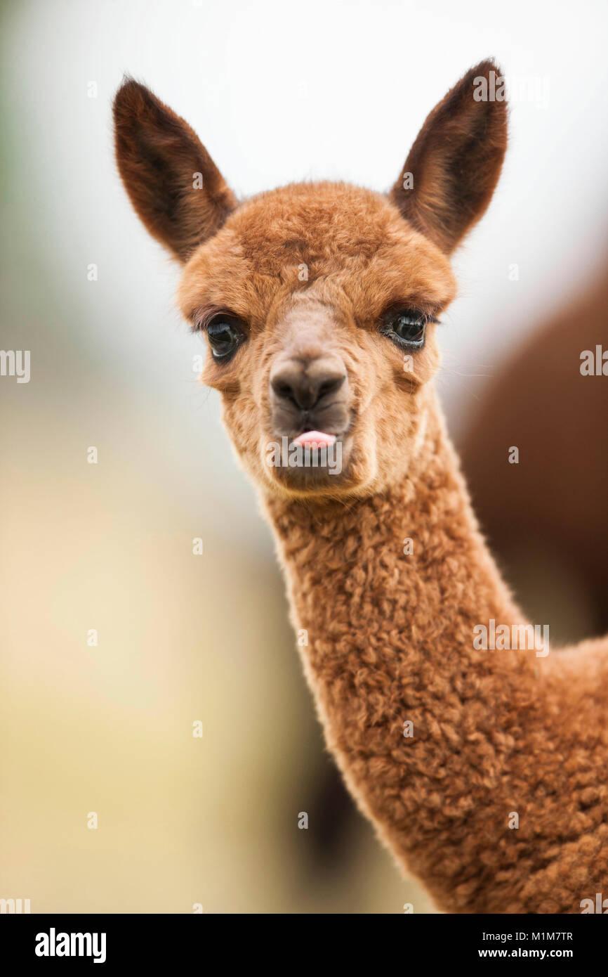 Alpaca (Lama pacos, Vicugna pacos). Portrait of brown foal. Germany - Stock Image