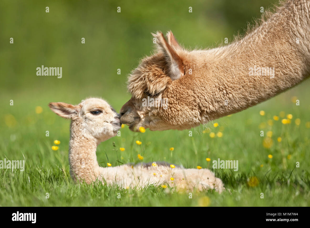 Alpaca (Lama pacos, Vicugna pacos). Mother sniffing at young on a meadow. Germany - Stock Image