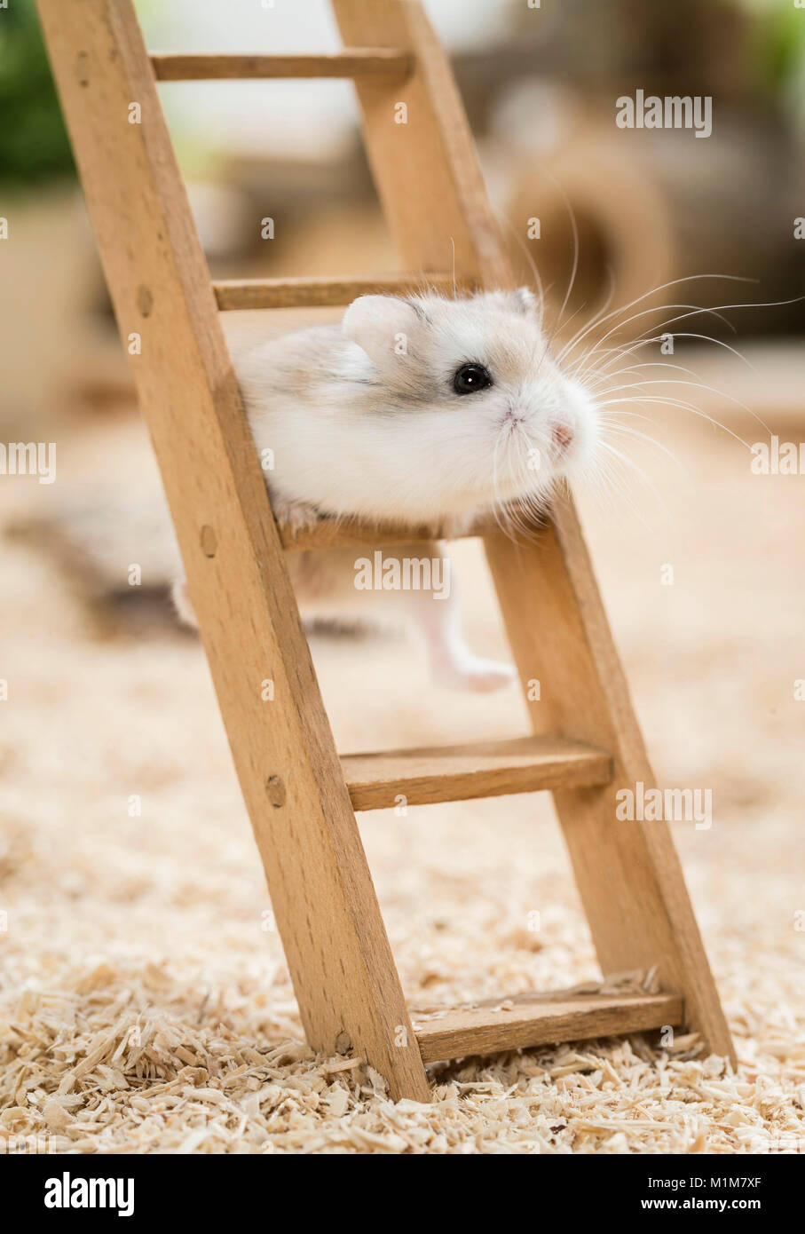Roborovski Hamster (Phodopus roborovskii) climbing on a wooden ladder. Restriction: Not for guidebooks for pet care - Stock Image