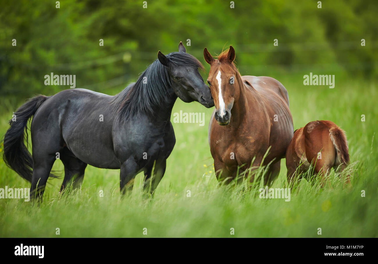 American Quarter Horse. Black stallion courting a chestnut mare on a meadow. Germany - Stock Image