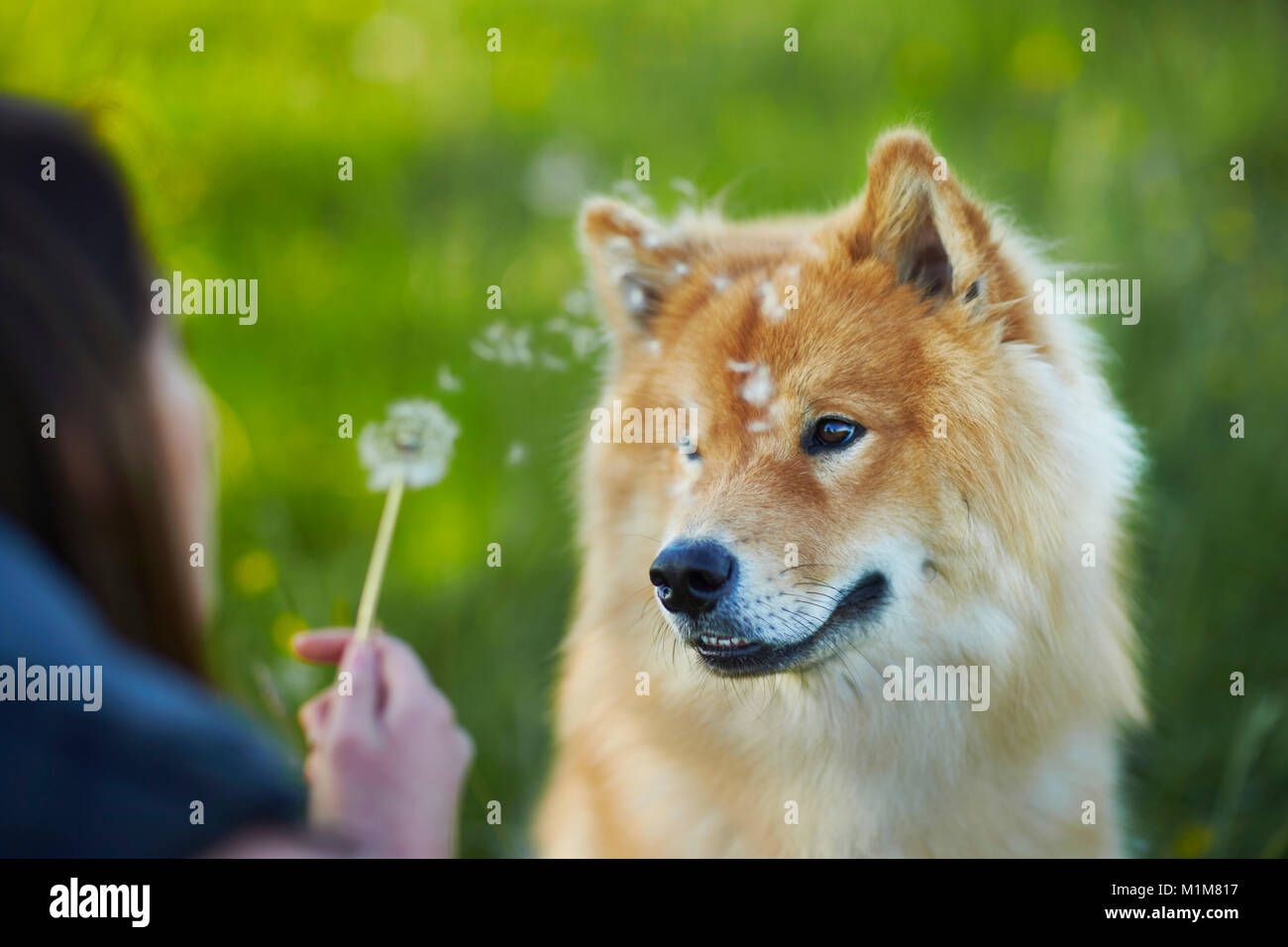 Eurasier, Eurasian. Adult dog watching blowball, held by woman. Germany - Stock Image