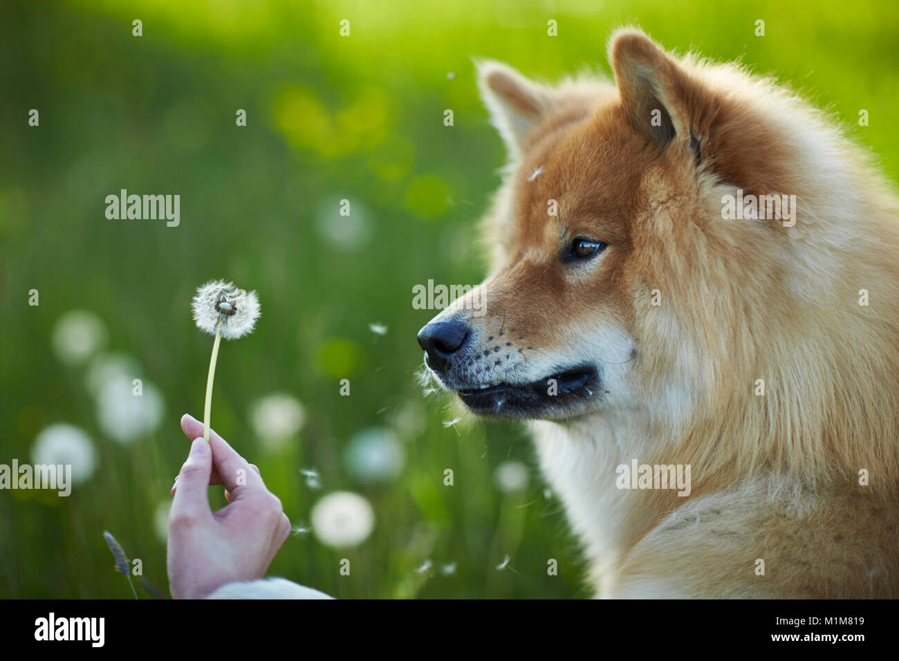Eurasier, Eurasian. Adult dog watching blowball, held by hand. Germany - Stock Image