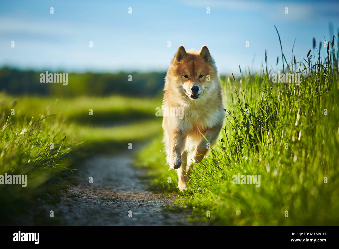 Eurasier, Eurasian. Adult dog running on a path in a meadow. Germany - Stock Image