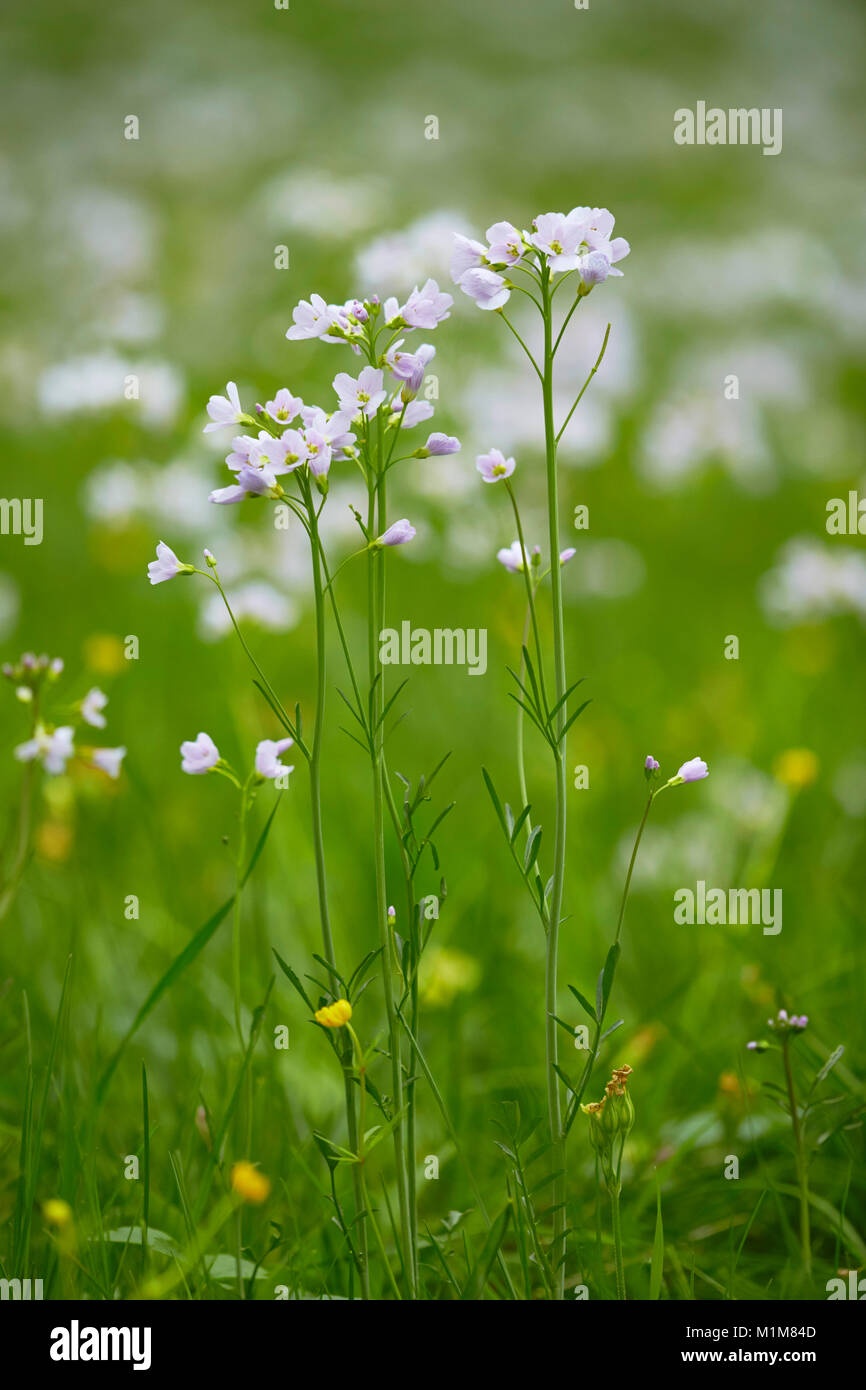 Flowering Cuckoo Flower, Lady's Smock (Cardamine pratensis) on a meadow. Germany Stock Photo